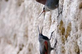 Couple de tichodromes, femelle en-haut, mâle en-bas / © Christophe Sidamon-Pesson
