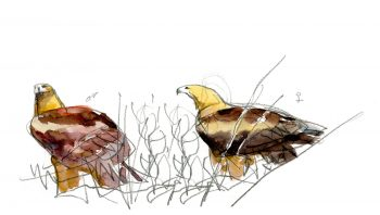 Couples d'aigles royaux. Le mâle à gauche, la femelle à droite.