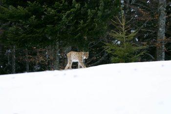 Croiser le lynx sur son chemin, c'est aujourd'hui à nouveau possible en France comme en Suisse.