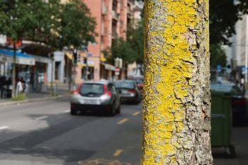 Dopée par l'azote atmosphérique, Candelaria concolor est l'une des espèces qui prolifèrent en ville.
