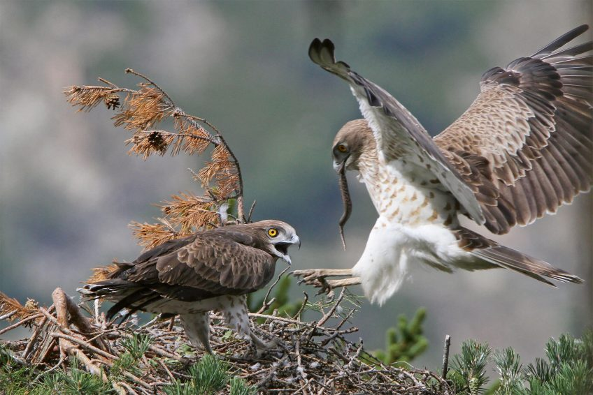Le circaète, un aigle aux yeux d'ambre