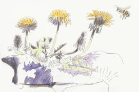 « En l'espace d'une heure, un lézard est passé, un bourdon, une abeille qui a rendu visite au pissenlit. » / © Olivier Loir