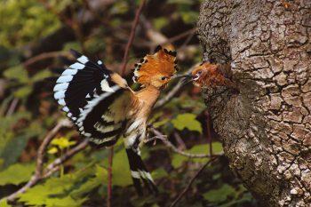 Grâce à des mesures de protection bien ciblées de la part d'équipes d'ornithologues de Nos Oiseaux, la huppe fasciée est de retour dans nos campagnes et ses populations sont en augmentation.