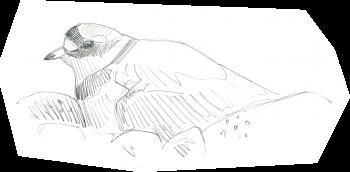 Les limicoles, ces oiseaux qui débarquent sur les plages