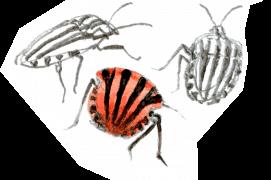 "Graphosomes (""punaises arlequins"")  / © Denis Clavreul"
