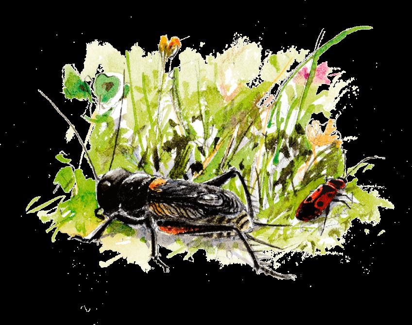 Grillon champêtre, le musicien de l'herbe