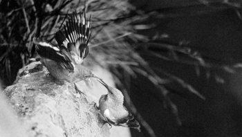 Il a fallu beaucoup de ténacité à Eugene Huttenmoser pour parvenir à photographier le tichodrome échelette en première mondiale.