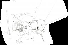 « La femelle apparaît à l'entrée du trou. » A sa vue, « corps aplati, tête redressée, le mâle s'agite frénétiquement. » / © Benoît Perrotin