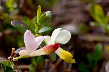 La polygale faux-buis (Polygala chamaebuxus), une…