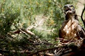 L'aigle a presque avalé entièrement sa proie, ne laissant qu'un bout de queue pour que son jeune puisse la ressortir. / © David Allemand