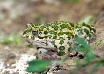 Le crapaud vert est l'une des 40 espèces d'amphibiens de France. Parmi elles, on en compte six qui ont été introduites.