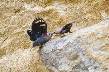 Le mâle tichodrome nourrit la femelle…