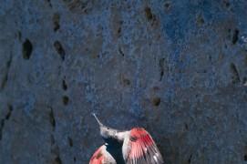 Le tichodrome inspecte la falaise et y déniche quelques petites bêtes. « ses lignes et ses couleurs nous mènent à penser que nos rêves les plus inattendus sont franchi la barrière qui sépare le rêve de l'imaginaire. » / © Christophe Sidamon-Pesson