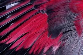 Le tichodrome n'a qu'à ouvrir ses ailes flashy pour se faire voir. / © Christophe Sidamon-Pesson