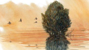Les bergeronnettes grises regagnent le feuillage protecteur d'un saule pour y passer la nuit.