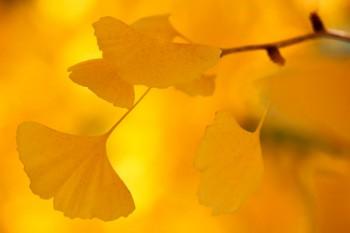 Les feuilles du ginkgo biloba sont reconnaissable parmi toutes.