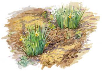 Les jonquilles sortent de terre dès les premiers redoux.