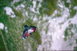 Les photos inédites de Eugene Huttenmoser, le premier à avoir tiré le portrait du tichodrome / © Eugene Huttenmoser
