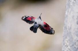 L'oiseau-papillon porte bien son nom: deux larges ailes bigarrées qui papillonnent contre les parois… et une petite queue, en comparaison. / © Christophe Sidamon-Pesson
