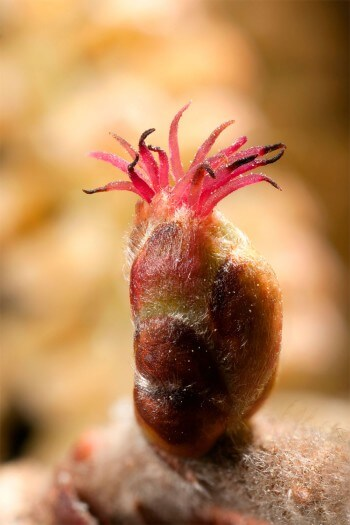 Noisetier (plante monoïque) : fleur femelle…