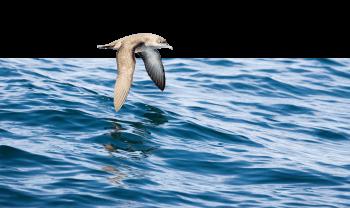 On rencontre sept espèces de puffins le long des côtes françaises. Celui des Baléares est le plus menacé.