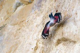 Premiers vols des jeunes tichodromes, à fleur de roche. / © Christophe Sidamon-Pesson