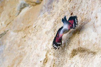 Premiers vols des jeunes tichodromes, à…