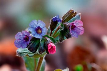 Pulmonaire (Pulmonaria officinalis)