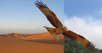 Quand les milans noirs traversent le Sahara, ils attendent en lisière du désert des vents favorables. Ceux-ci leur  permettront de parcourir jusqu'à 500 km par jour.