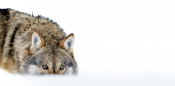 Quelle place voulons-nous donner au loup…