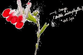"« Sauge (Salvia microphylla) ""Hot lips"" » / © Benoît Perrotin"
