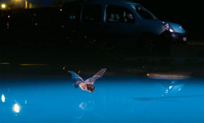 Vol de nuit d'une chauve-souris urbaine
