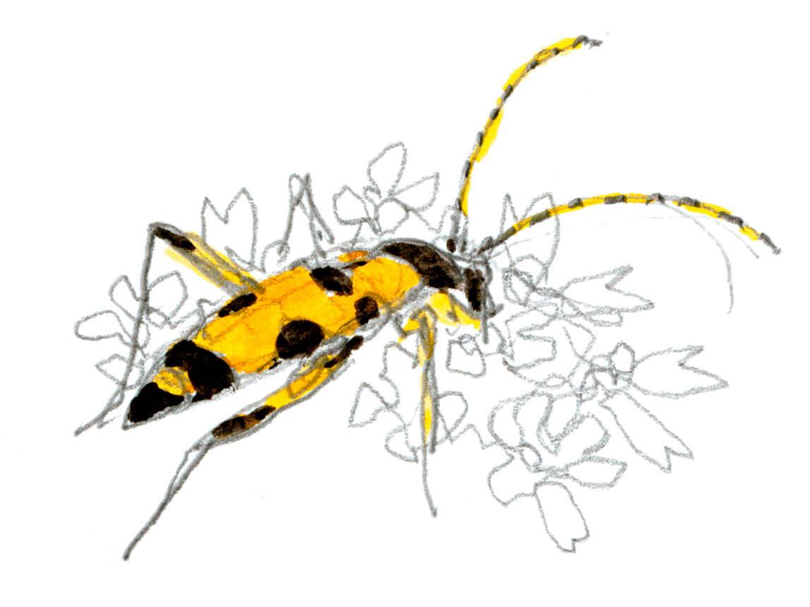 Berce des près, comment la cuisiner et quels insectes y trouver