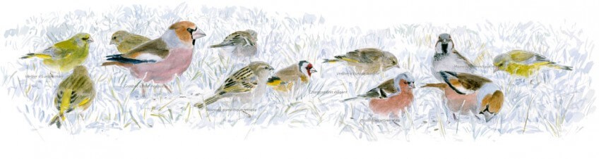 Oiseaux des mangeoires
