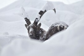 16 décembre - La veille, il était tombé 1 m 50 de neige. Presque submergé, ce grand mâle essayait de nager dans la pente. / © Anne et Erik Lapied
