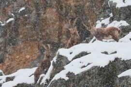 16 mars - Dix bouquetins se sont mis à l'abri des avalanches au pied d'un éperon rocheux. Pendant deux jours, ils sont restés debout, presque immobiles, en alerte dès qu'une coulée de neige descendait dans la vallée. Trois mâles se sont écartés un instant du groupe, le temps d'une image. Finalement, il a cessé de neiger, le risque a diminué et les bêtes ont repris leurs déplacements. / © Anne et Erik Lapied