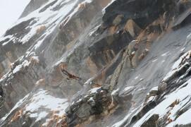 17 mars - Impossible de courir la montagne à cause des risques d'avalanches. Alors nous avons attendu le passage de l'aigle dans les bourrasques. / © Anne et Erik Lapied