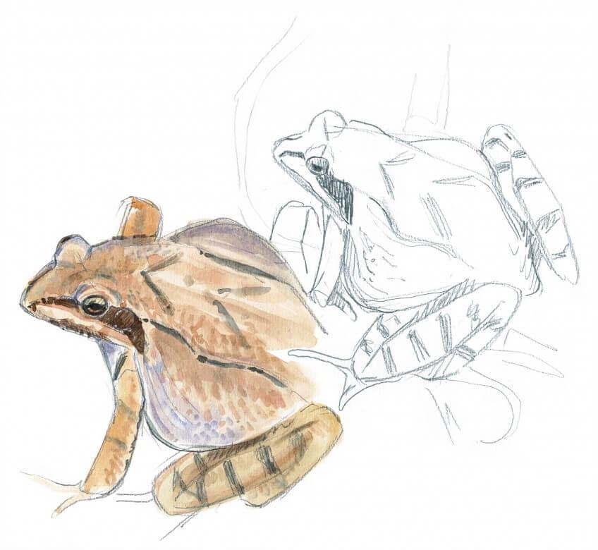 dessins de grenouilles rousses