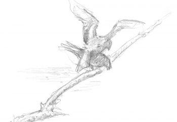 « 24 mars 2010 - Le mâle descend en piqué et s'accouple à la femelle. »