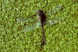 Aeschne morte sur un lit de lentille d'eau / © Gilles Martin