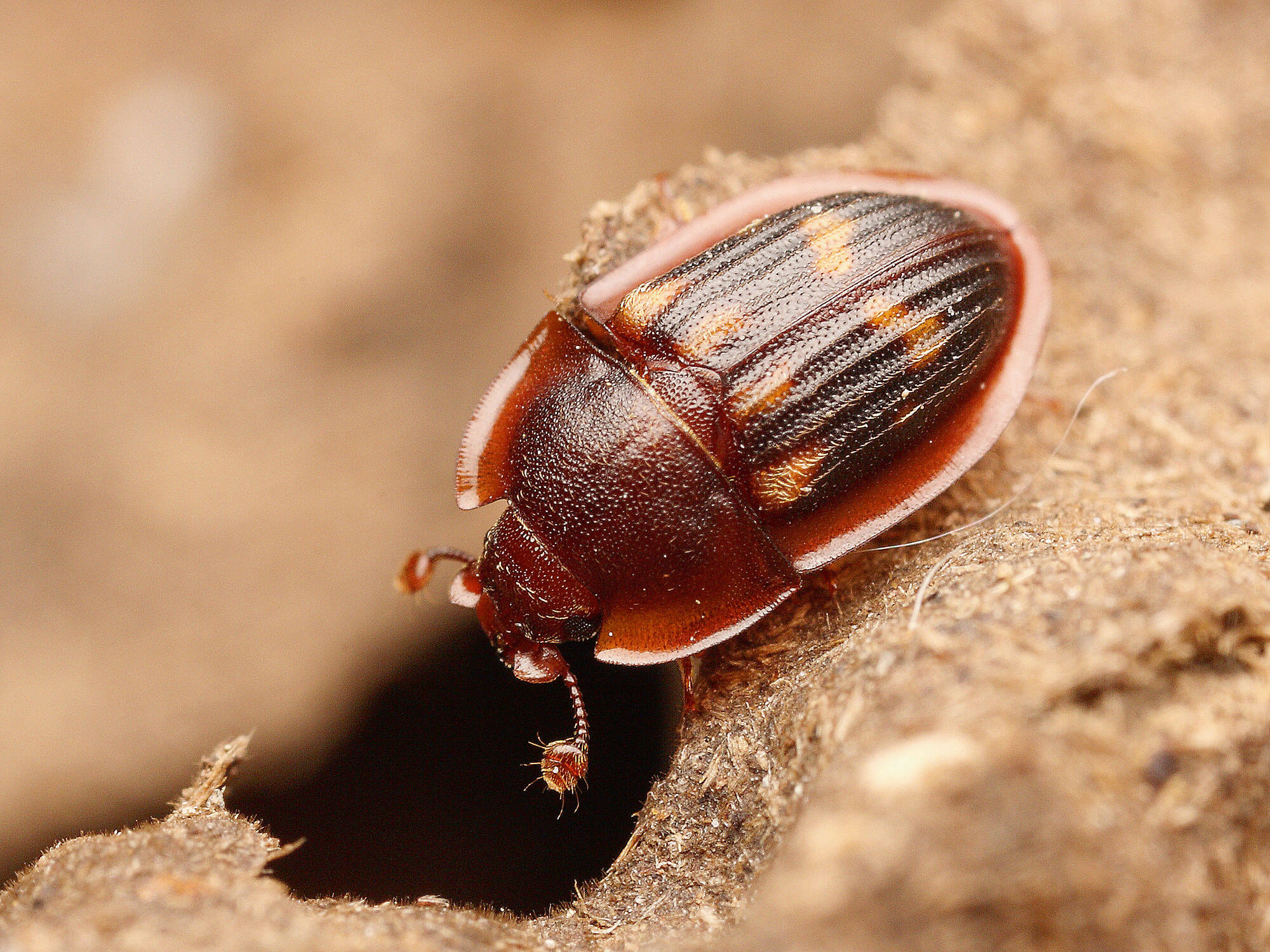 Photo d'Amphotis marginata, un voleur de miellat
