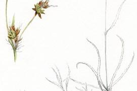 Carex / © Philippe Roux-Fouillet