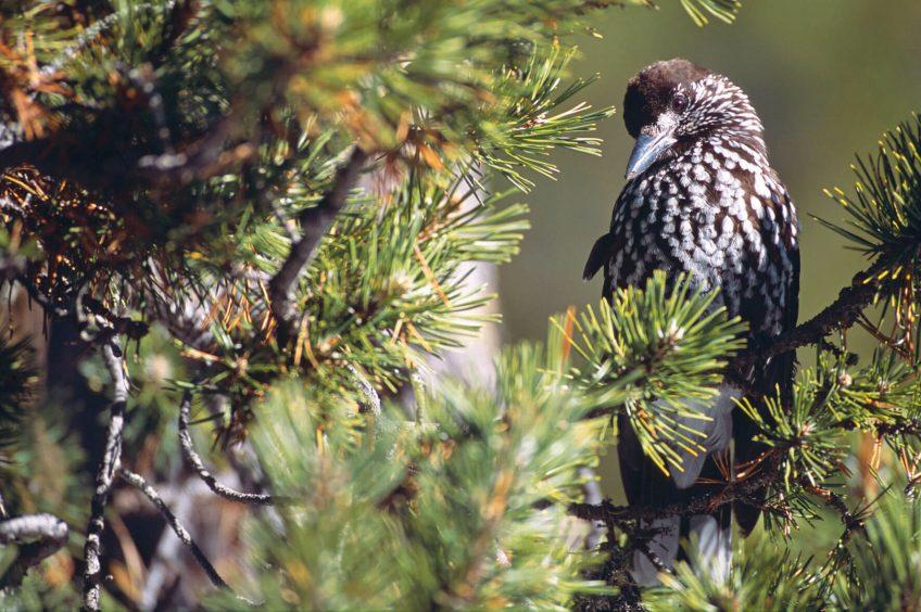Photo de cassenoix moucheté perché sur un pin cembro.