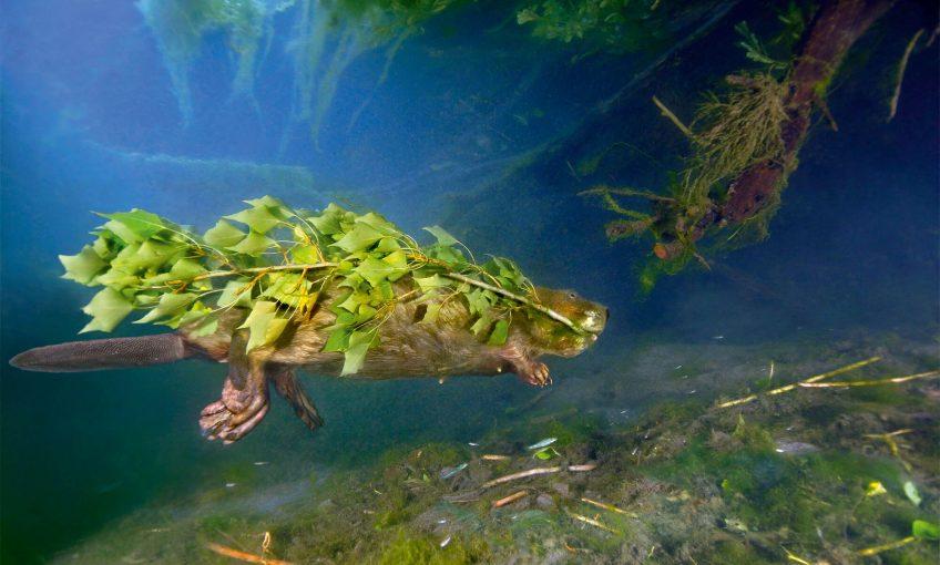 Castor sous l'eau