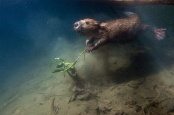 Castor sous l'eau, avec une branche de saule entre les pattes.