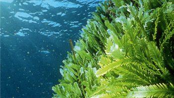 Caulerpa taxifolia, l'algue tueuse, batterait-elle en retraite?