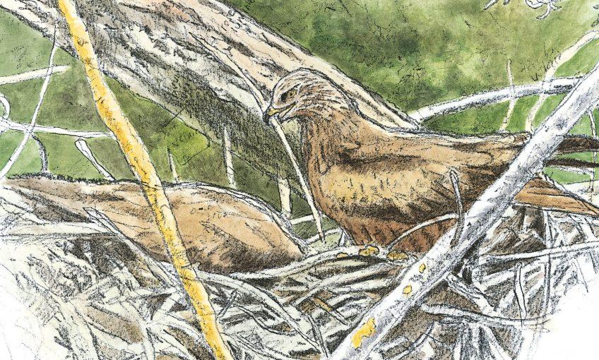 Dessin de milans noirs et leur nid