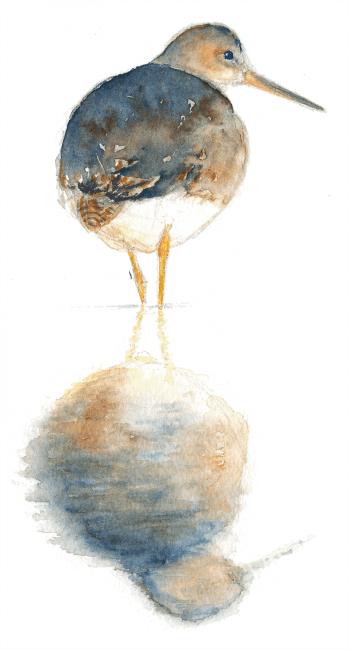 Aquarelle de chevalier gambette