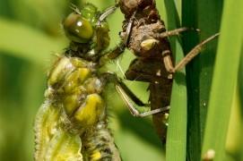 Cet orthoptère du genre libellula se balance en arrière pour sortir de son exuvie lors de la métamorphose. / © Christophe Salin