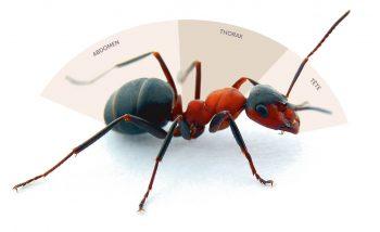Comme tous les insectes, les fourmis ont un corps divisé en 3 parties: tête, thorax, abdomen.